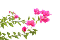 Purpere bougainvillea Stock Foto