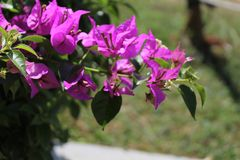 Purpere bougainvilleabloem, vage achtergrond stock foto