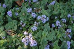 Purpere chrysant Royalty-vrije Stock Fotografie