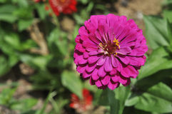 Purpere chrysant Stock Afbeeldingen