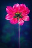 Purpere chrysant Royalty-vrije Stock Foto's
