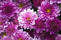 Purpere chrysant close-up Stock Foto's