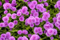 Purpere Chrysant, Italiaanse Aster Stock Fotografie