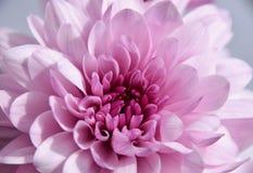 Purpere chrysantemummacro Stock Foto's