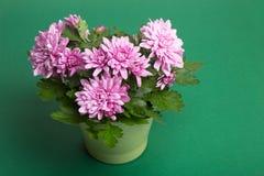 Purpere chrysantenbloemen op Groenboekachtergrond royalty-vrije stock afbeelding