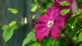 Purpere clematissenbloemen die in de zomertuin bloeien stock fotografie