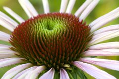 Purpere Coneflower Stock Foto's