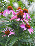 Purpere coneflowerechinacea Stock Foto