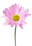 Purpere Daisy Flower Daisies Floral Flowers Royalty-vrije Stock Foto's