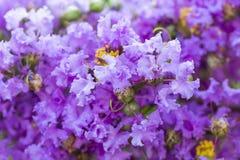 Purpere de bloemlagerstroemia van de rouwbandmirte met geel stuifmeel stock foto's