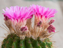 Purpere de Cactusbloem van Notocactusmammulosus stock afbeeldingen