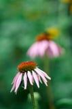 Purpere de kegelbloem van Echinaceapurpurea in een tuin in de zomer Stock Afbeeldingen