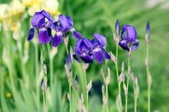 Purpere de lentebloemen in de tuin Royalty-vrije Stock Fotografie