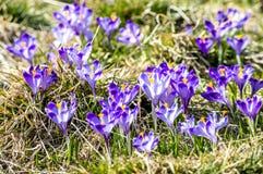 Purpere de lentebloemen op een zonnige weide in de bergen stock afbeeldingen