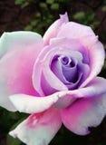 Purpere in de schaduw gesteld roze nam toe stock afbeeldingen