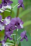 purpere dendrobiumorchidee Royalty-vrije Stock Afbeeldingen