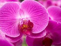 Purpere dichte omhooggaand van de Orchidee Stock Foto's