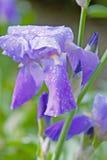 Purpere die bloem in dauw wordt behandeld Royalty-vrije Stock Foto