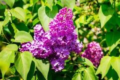 Purpere die bloemen van sering door groene bladeren worden omringd Het Lilac bloeien royalty-vrije stock foto's