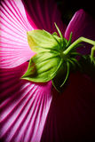 Purpere die Hibiscus erachter wordt geschoten van. Royalty-vrije Stock Foto's
