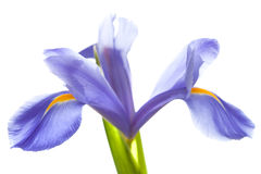 Purpere die iris op wit wordt geïsoleerd Stock Fotografie