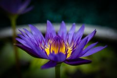 Purpere die lotusbloem in een ton voor lotusbloemcultuur wordt gebruikt Stock Afbeeldingen