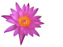 Purpere die lotusbloembloem of waterlelie op witte achtergrond wordt geïsoleerd stock afbeelding