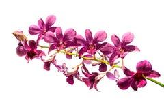 Purpere die orchidee op een witte achtergrond wordt geïsoleerd royalty-vrije stock afbeeldingen