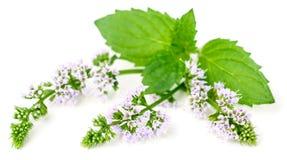Purpere die pepermuntbloemen op wit worden geïsoleerd stock fotografie