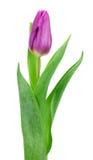 Purpere die tulp op witte achtergrond wordt geïsoleerd Royalty-vrije Stock Foto