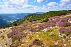 Purpere dopheide die in het hooggebergte bloeien stock afbeeldingen