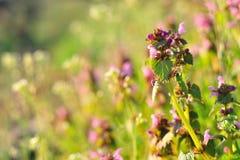 Purpere Dovenetel (Lamium-purpureum) Stock Fotografie