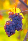 Purpere druiven Royalty-vrije Stock Afbeelding
