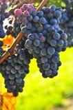 Purpere druiven Stock Afbeeldingen