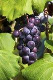 Purpere Druiven op de Wijnstok Royalty-vrije Stock Afbeelding