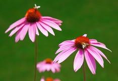 Purpere echinacea royalty-vrije stock afbeeldingen