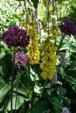 Purpere en gele bloei royalty-vrije stock afbeeldingen