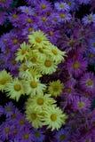 Purpere en gele madeliefjeachtergrond en textuurverticaal Royalty-vrije Stock Foto