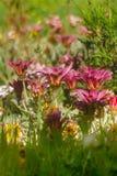 Purpere en gele madeliefjebloemen stock afbeeldingen