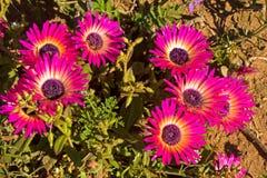 Purpere en gele wildflowers van Livingstone Daisy stock afbeelding