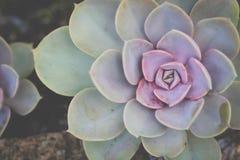 Purpere en Groene Succulente Installatie Royalty-vrije Stock Foto's
