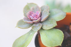 Purpere en Groene Succulente Installatie Royalty-vrije Stock Foto