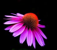 Purpere en oranje bloem Royalty-vrije Stock Afbeeldingen