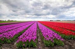 Purpere en rode tulpengebieden Stock Afbeeldingen