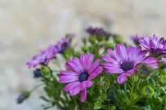 Purpere en roze bloemen met groene bladeren als achtergrond in Mater Royalty-vrije Stock Fotografie