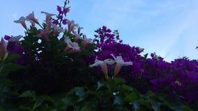 Purpere en roze bloemen onder een blauwe hemel stock videobeelden