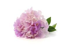Purpere en roze bloemen op witte achtergrond Stock Afbeeldingen