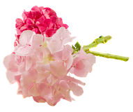 Purpere en roze hortensia, hydrangea hortensiabloemen, sluit omhoog geïsoleerde, witte achtergrond Royalty-vrije Stock Foto's