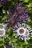 Purpere en witte Afrikaanse madeliefjebloemen met gekrulde bloemblaadjes stock foto