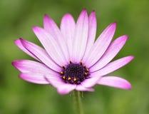 Purpere en witte bloem stock afbeelding